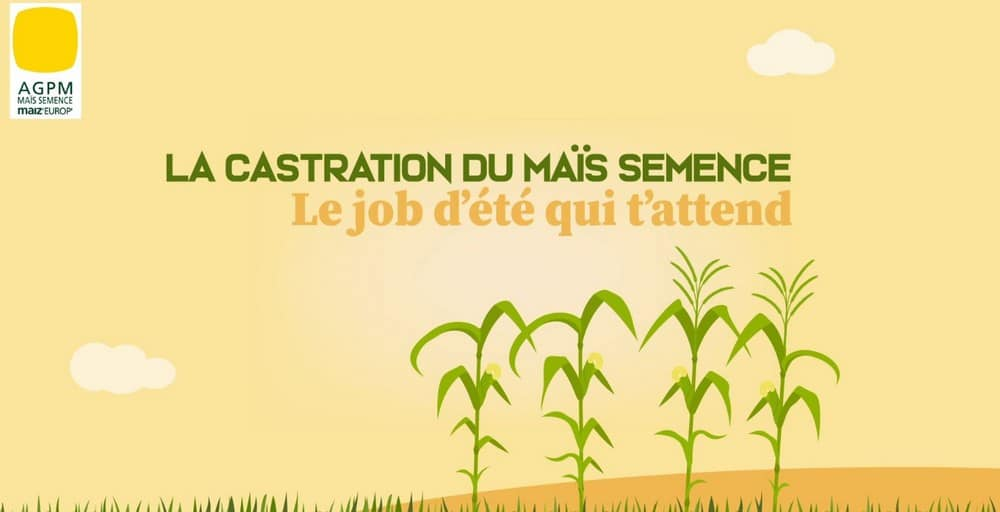 Vidéo castration du maïs semence emploi saisonnier