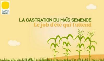 vidéo castration maïs semence